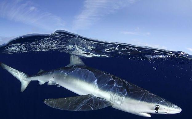 Fotografia do tubarão azul tirada pelo fotógrafo Nuno Sá ao largo da ilha do Faial, nos Açores