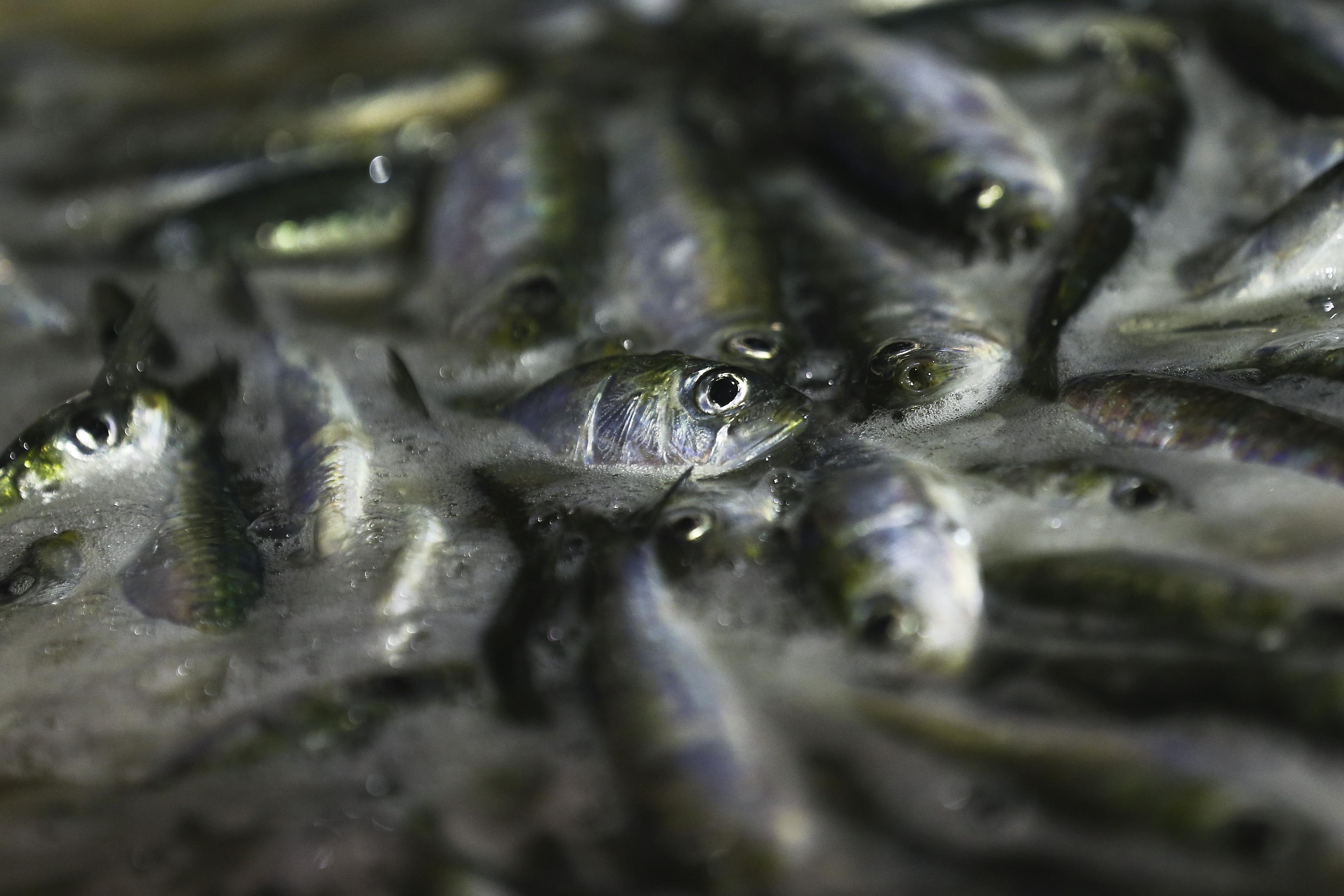 Bruxelas não proíbe pesca de sardinha mas quer que Lisboa veja situação com seriedade